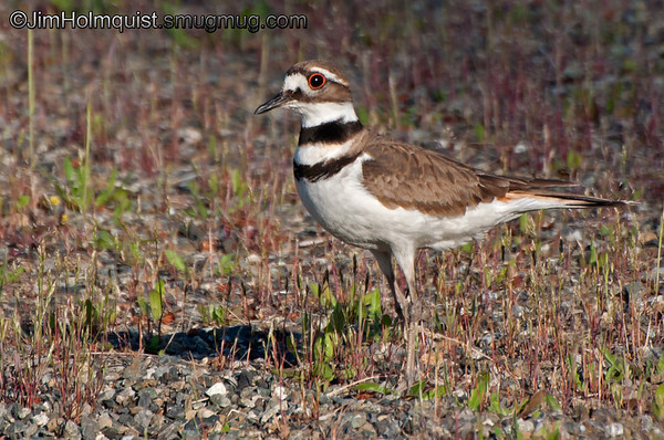 """K"" is for Killdeer <br /> <br /> Protecting nest in a park Near Olympia, Wa. (Previously un-processed shot from 2012)."