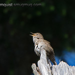 Pacific Wren - taken near Olympia, Wa. Shot is a bit noisy.