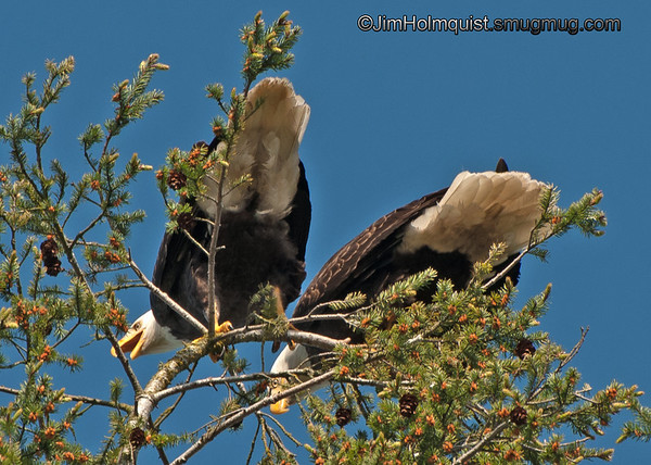 American Bald Eagles - near Olympia, Wa