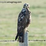 Swainson's Hawk? - This hawk had more white on the head than I have seen on other Swainson's Hawks so I'm not positive about the identification. Tail feathers had no red that I could see and were the same length as the wings so probably not a Red-tailed Hawk. Taken near Island Park, Id