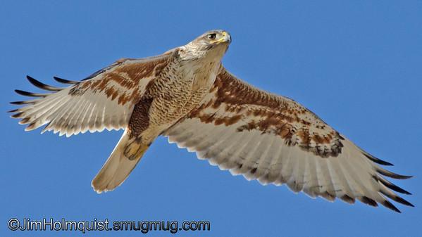 Ferruginous Hawk - Snake River Birds of Prey area near Kuna, Id. Taken in June.