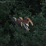 Osprey (1 of 6) - diving for a fish near Olympia, Wa. Great splash but no fish.