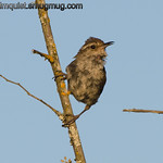 Bewick's Wren - near Olympia, Wa. Taken in 2012.