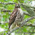 """H"" is for Hawk<br /> <br /> Red-Tailed Hawk - watching me like a ""hawk"" at Nisqually Wildlife Refuge near Olympia, Wa"