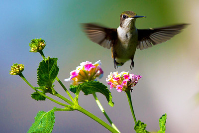 Ruby throated hummingbird in flight, Houston