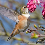 Rufous Hummingbird - young male near Olympia, Wa.
