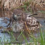 Red-Tailed Hawk - Taking a bath at Nisqually Wildlife Refuge near Olympia, Wa