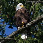 American Bald Eagle - near Olympia, Wa. Taken in May.