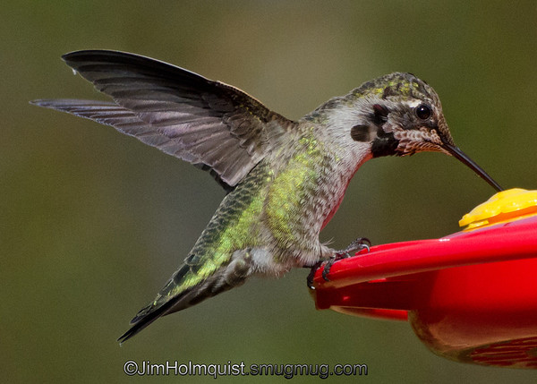 Anna's Hummingbird - near Olympia, Wa