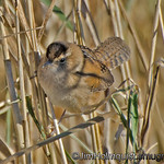 Marsh Wren - taken near Olympia, Wa.