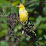 American Goldfinch - near Olympia, Wa. Taken in 2010.