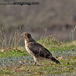 Immature Red-tailed Hawk - taken at Nisqually Wildlife Refuge near Olympia, Wa.