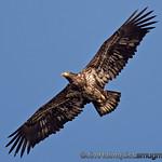 Immature Bald Eagle - taken near Olympia, Wa.<br /> <br /> I really appreciate the comments!