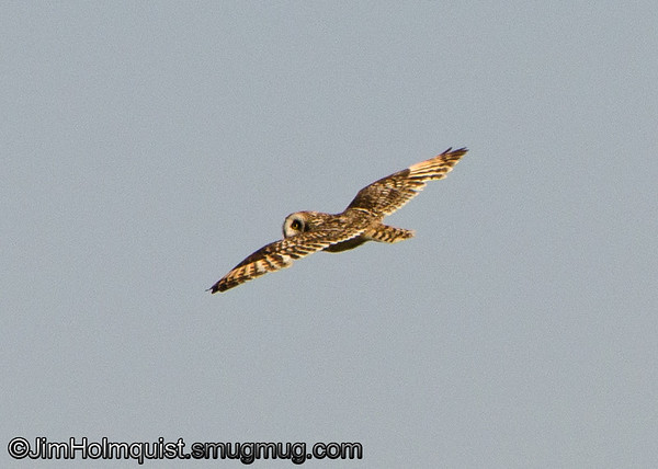 Short-eared Owl - near Island Park, Idaho