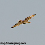 Short-eared Owl - near Island Park, Idaho