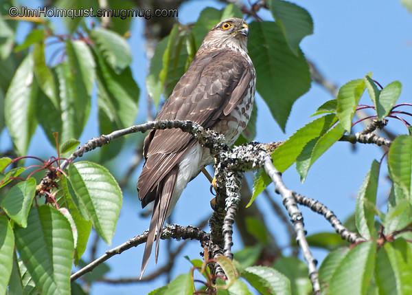Young Sharp-shinned Hawk - near Olympia, Wa. Taken in June 2011.