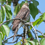 Young Sharp-shinned Hawk - near Olympia, Wa. Taken in June 2011.