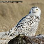 Snowy Owl - Ocean Shores, Wa