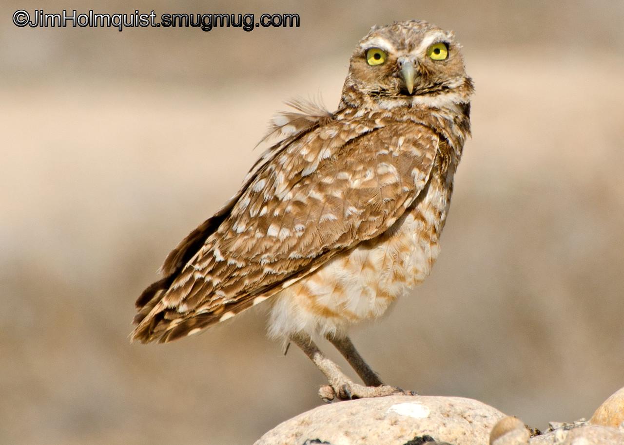 Burrowing Owl - guarding nest near Boise, ID