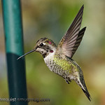 Anna's Hummingbird - Trying to freeze the wing motion, close at 1/6400.
