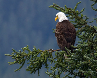 Bald Eagle outside of Juneau, Alaska