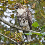 Red-tailed Hawk Juvenile - at Nisqually Wildlife Refuge near Olympia, Wa.
