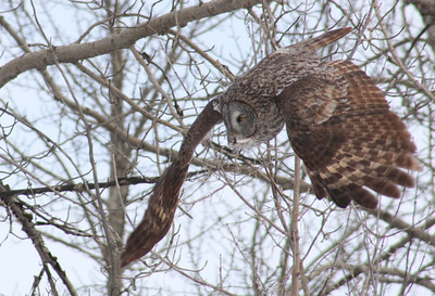 Great Grey owl, The Pas, Mb. area