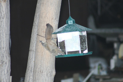 Well, it does fly and eats from a bird feeder! .........Flying squirrel stealing bird seed,  Ralls Island, Mb.