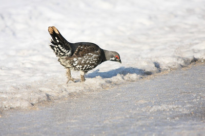 Spruce Grouse, The Pas, Mb. area