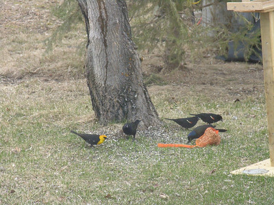 Yellow-headed Blackbird, Common Grackle, Red Wing Blackbird, Ralls Island, Mb.