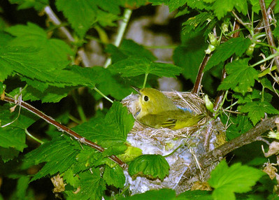 Yellow Warbler, Ralls Island, Mb. area