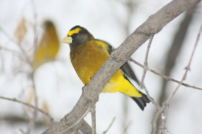 Male Evening Grosbeak, Ralls Island, Mb.