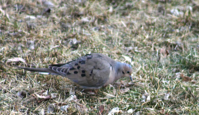 Mourning Dove, Ralls Island