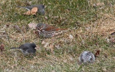 Fox Sparrow (center), Male Junco (bottom left), Myrtle Warbler (ball of fluff),  Ralls Island, Mb.