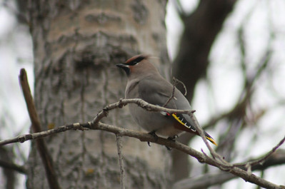 Bohemian Waxwing  - Ralls Island, The Pas