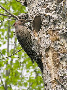 Janet's pic of a female Northern Flicker tending the nest. This bird will return to previously used nests but unfortunately the tree was cut down by the property owner.  Feb 23/08: Just a note to say that Janet won 2nd place for this pic at a local photo contest .