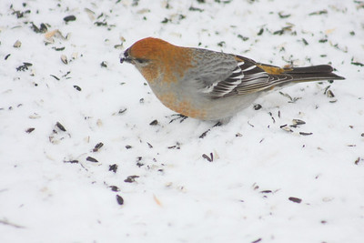 Female Pine Grosbeak, Ralls Island, Mb.