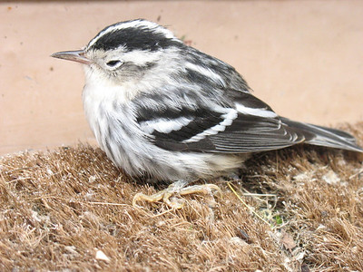 Juvenile Black and White Warbler, Ralls Island, Mb.
