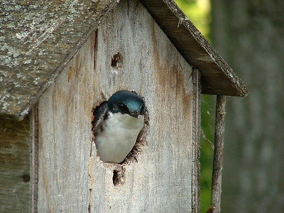 Tree Swallow,  Ralls Island, Mb.