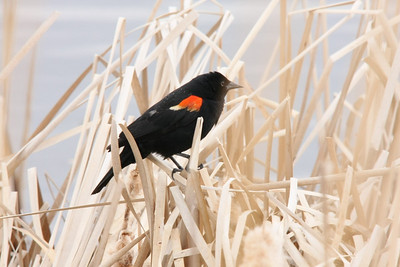 Red-winged Blackbird, Male, Grace Lake, Manitoba