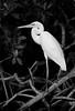 Great White Heron-Mangrove-2480