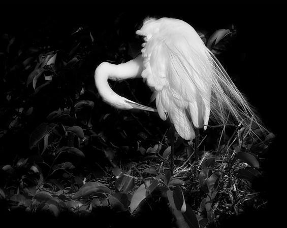 Egret Preen-4634