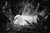 She Sits in Her Beauty - Nesting White Egret