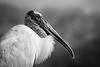 Profile portrait of Mycteria americana, the Wood Stork