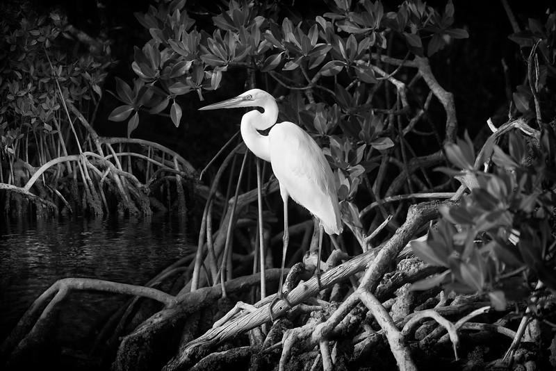 Great White Heron - Mangrove Setting