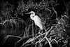 Great White Heron - Mangrove Setting