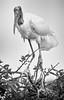 Wood Stork Black and White Portrait