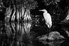 Tamiami Egret
