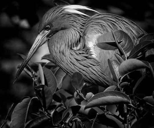 Louisiana Heron/Tri-color Heron in breeding plumage