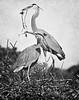 Great Blue Heron Mating Pair